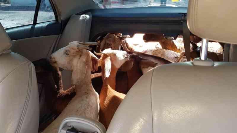 Trio é preso suspeito de maus-tratos a 11 cabras transportadas em um carro, na PB