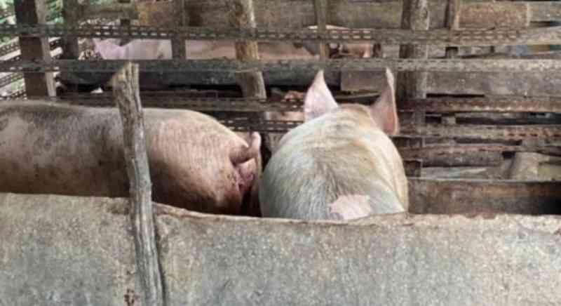 Após denúncia de barulho de animais sendo mortos, polícia fecha matadouro ilegal em Abreu e Lima, PE