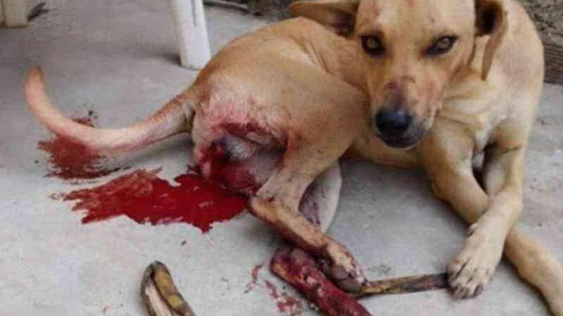 Cachorro que pulou muro e cruzou com cadela no cio é castrado com facão e sem anestesia em Caruaru, PE