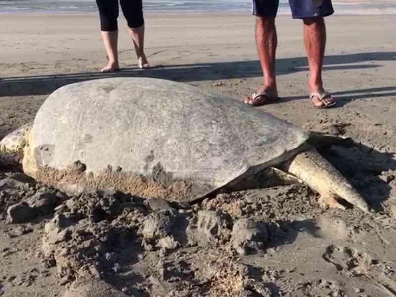 Tartaruga é encontrada morta na praia de Pau Amarelo, em Paulista, PE