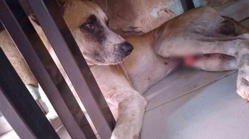 Cachorro é vítima de maus-tratos e tem pele do pênis cortada no bairro Henrique Leite, em Petrolina, PE
