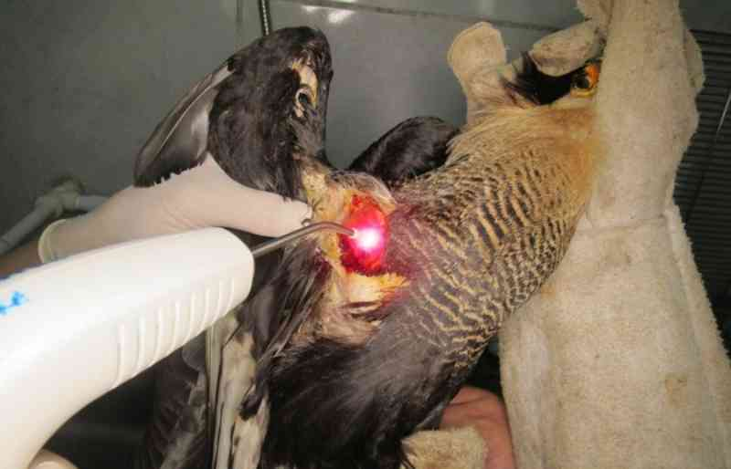 Aves silvestres são vítimas do cerol e da linha chilena em Pernambuco