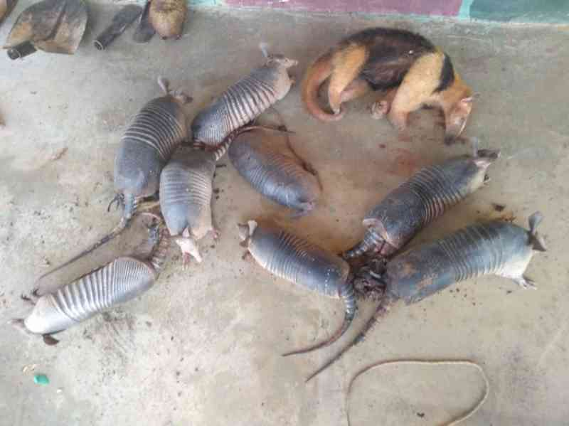 Caçador é preso com tatus e um tamanduá no sul do Piauí
