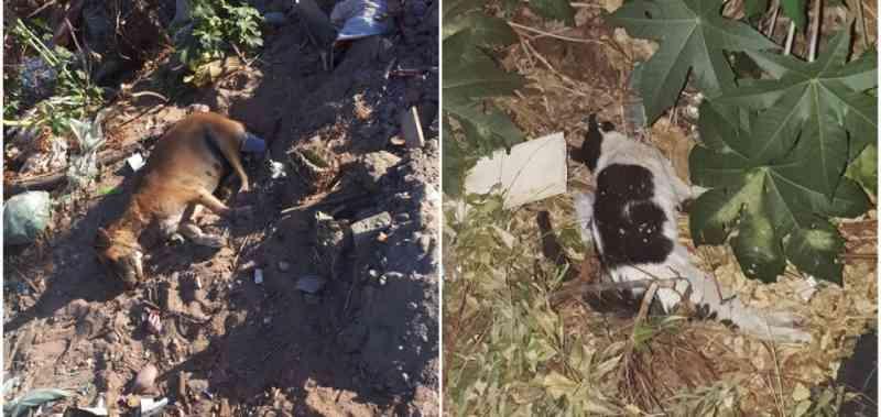 Quatro cães e um gato de rua foram envenenados na região sul do Piauí