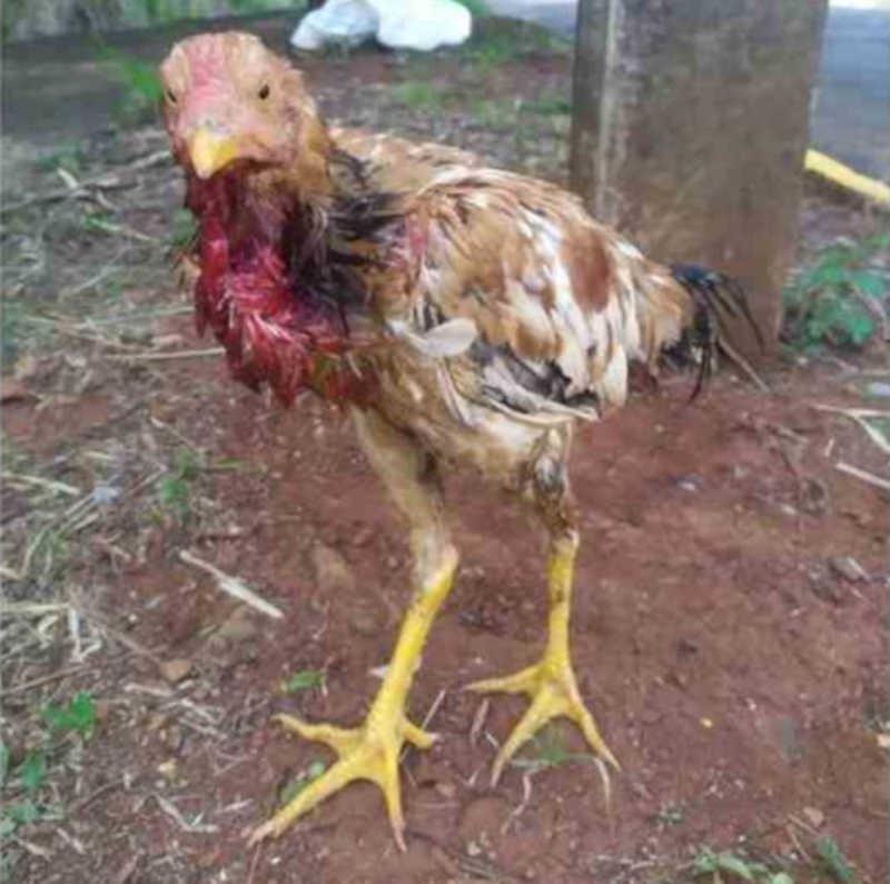 Galo ferido é encontrado dentro de saco de lixo em Apucarana, PR