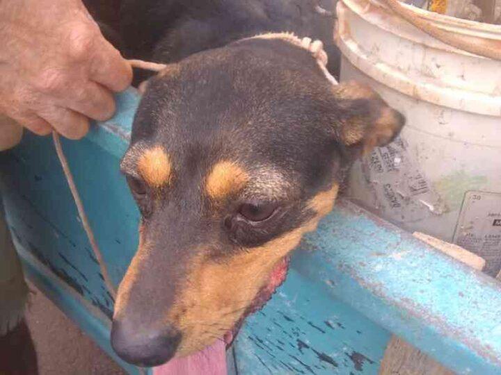Cão tem rabo decepado por golpe de facão e é socorrido SEMA e Patrulha Ambiental da GM em Cascavel, PR