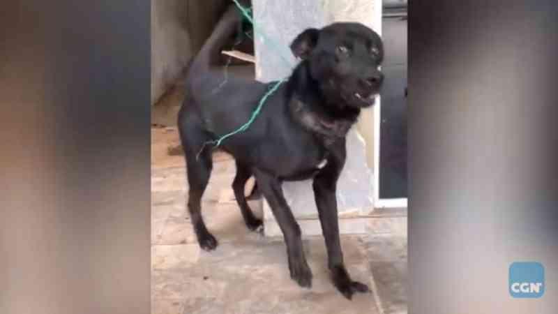 Amarrado com fio de nylon, cão fica com pescoço em carne viva; tutora é detida por maus-tratos