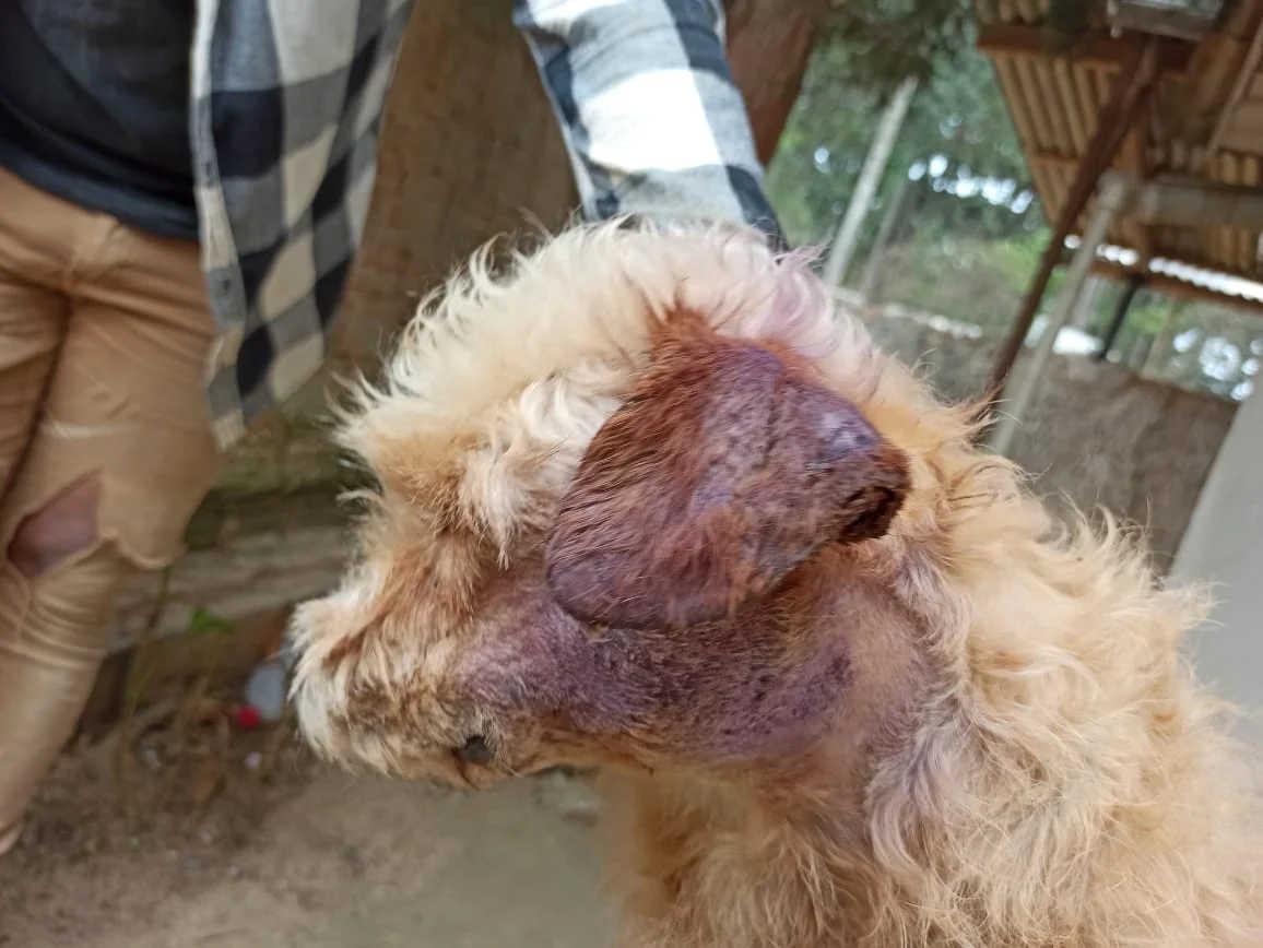 Tutor de cadela atacada por pit bull nega ter ateado fogo no animal; defesa mostra ameaças