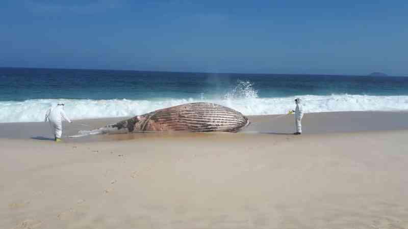 Baleia-jubarte aparece morta em praia de Maricá, no RJ