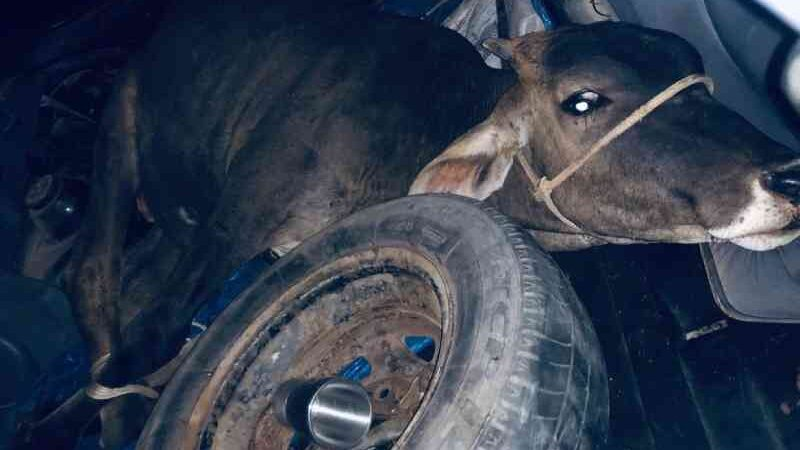 Bezerro é sequestrado para pagar dívida de tráfico; animal é encontrado amarrado em porta-malas de carro no RJ