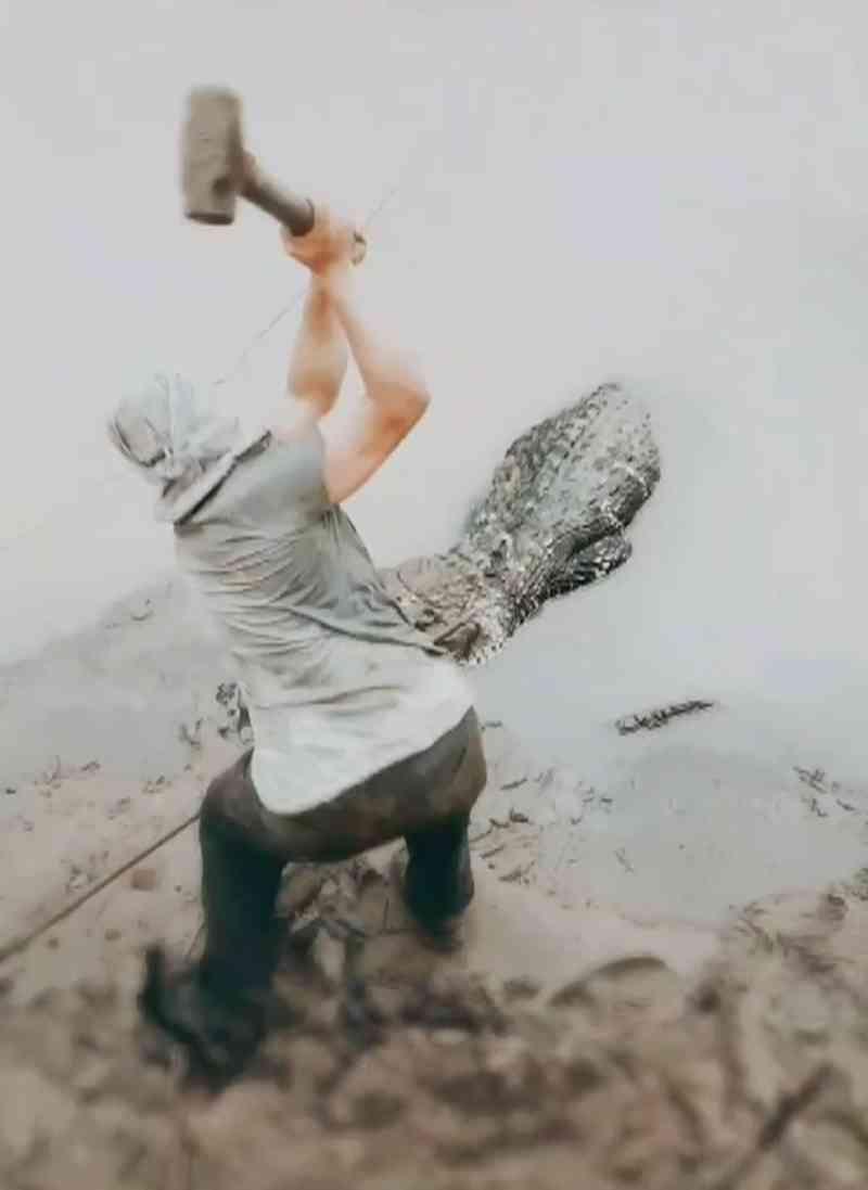 Jacaré-açu é abatido a tiro e marretadas no rio Madeira em Porto Velho, RO; vídeo