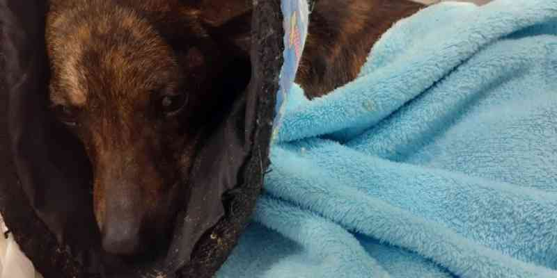 Grupo tenta arrecadar R$ 4 mil para salvar cão atropelado em Sapucaia do Sul, RS