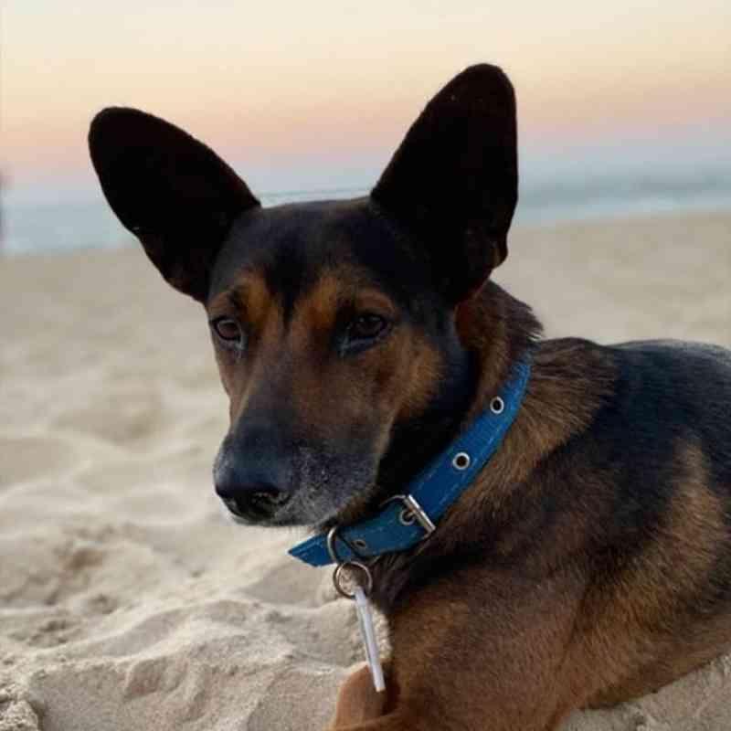 Orelha, cão comunitário de Itajaí (SC), morre envenenado