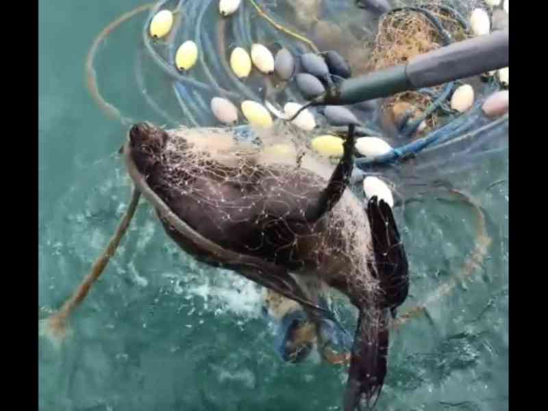 Lobo-marinho preso em rede de pesca é resgatado e solto, em São Francisco do Sul, SC; vídeo