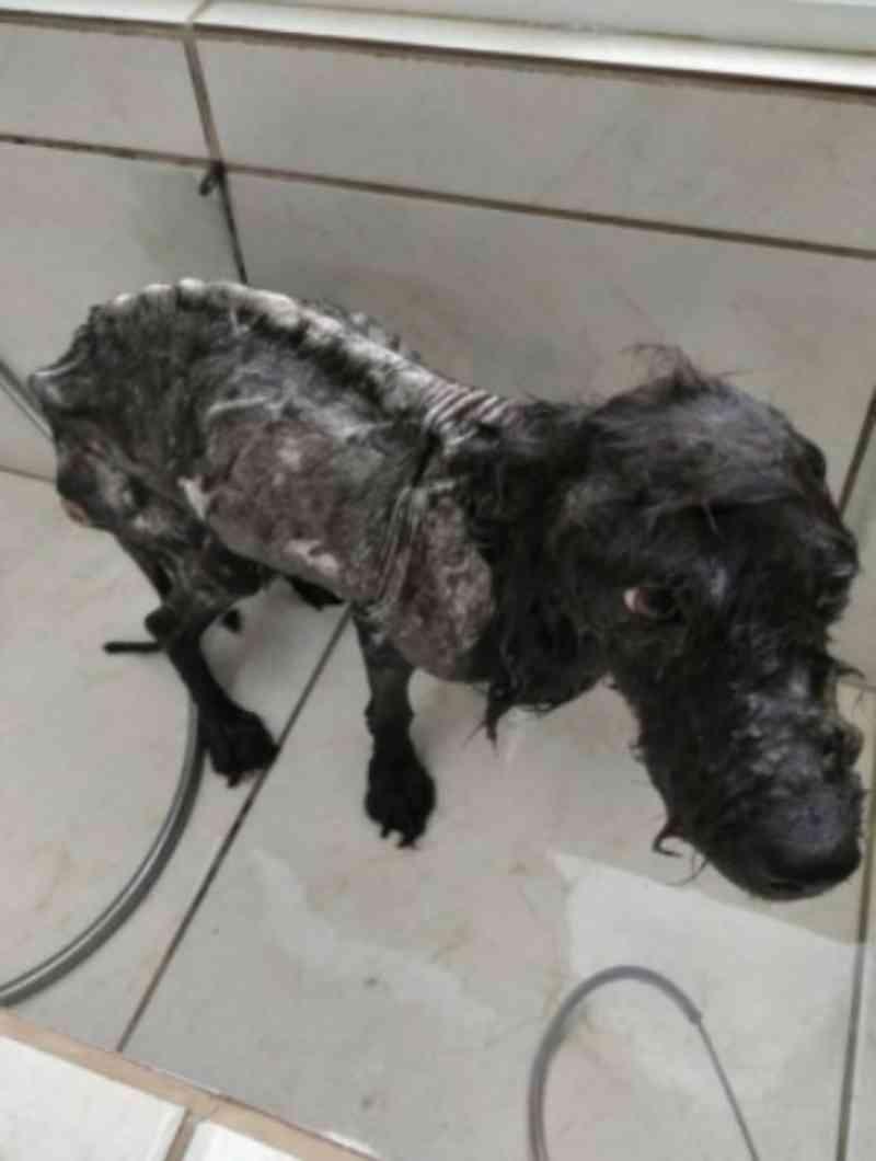 Cão vítima de maus-tratos é resgatado em Tubarão, SC