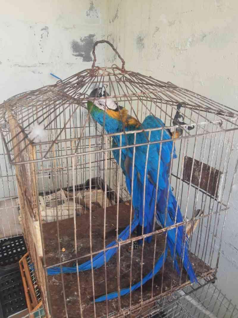 Polícia resgata arara-canindé mantida em cativeiro em Campinas, SP