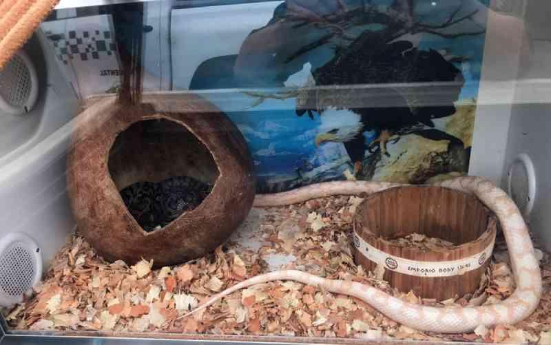 Jovem achado com 15 serpentes exóticas é multado em R$ 11 mil em Franca, SP