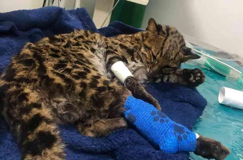Gato-do-mato é resgatado após ser atropelado em Limeira, SP