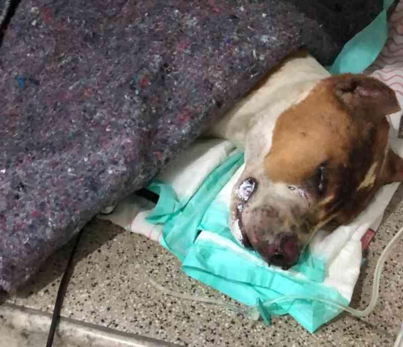 Ministério Público de Limeira (SP) denuncia tutor do cão Titan, que foi queimado vivo