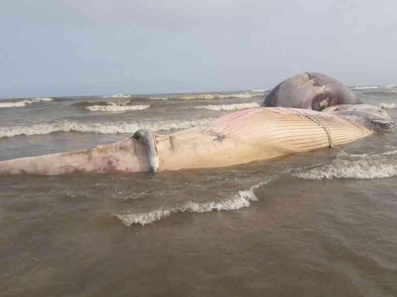 Baleia-jubarte com mais de 10 metros é achada morta em praia de SP