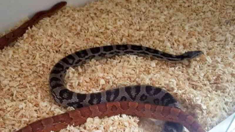 Mulher é multada por criar serpentes dos EUA em casa no interior de SP