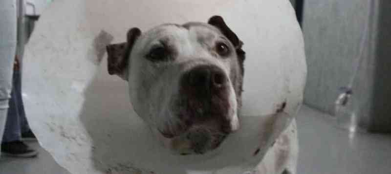 Depois de recuperar de facadas, pit bull está livre para ser adotado em Santo André, SP