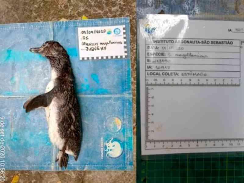 Após feriado, pinguim é encontrado morto e necropsia revela máscara embrulhada no estômago
