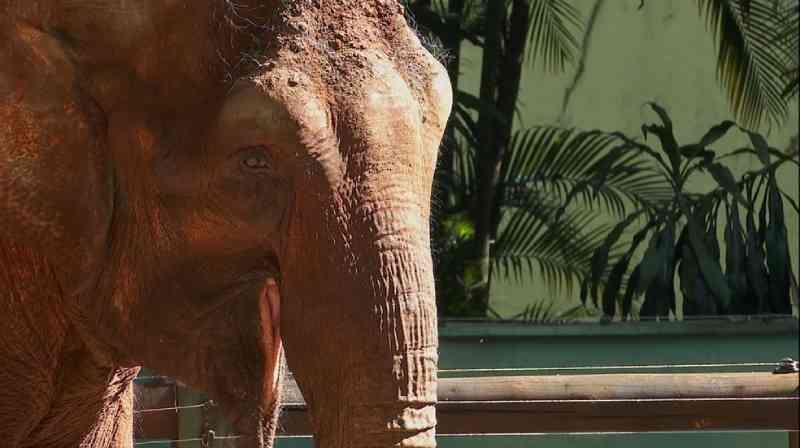 Campanha 'Bambi, vem pra manada' busca arrecadar doações para pagar transporte de elefanta de SP para MT