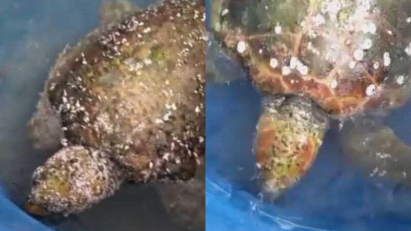 Antes e depois da retirada dos 5 kg de parasitas da tartaruga-cabeçuda encontrada no litoral paulista — Foto: Divulgação/Instituto Biopesca