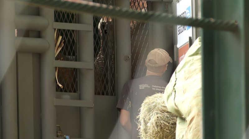 A elefanta Bambi dentro da caixa em que será levada de Ribeirão Preto, SP, até o MT — Foto: Carlos Trinca/EPTV