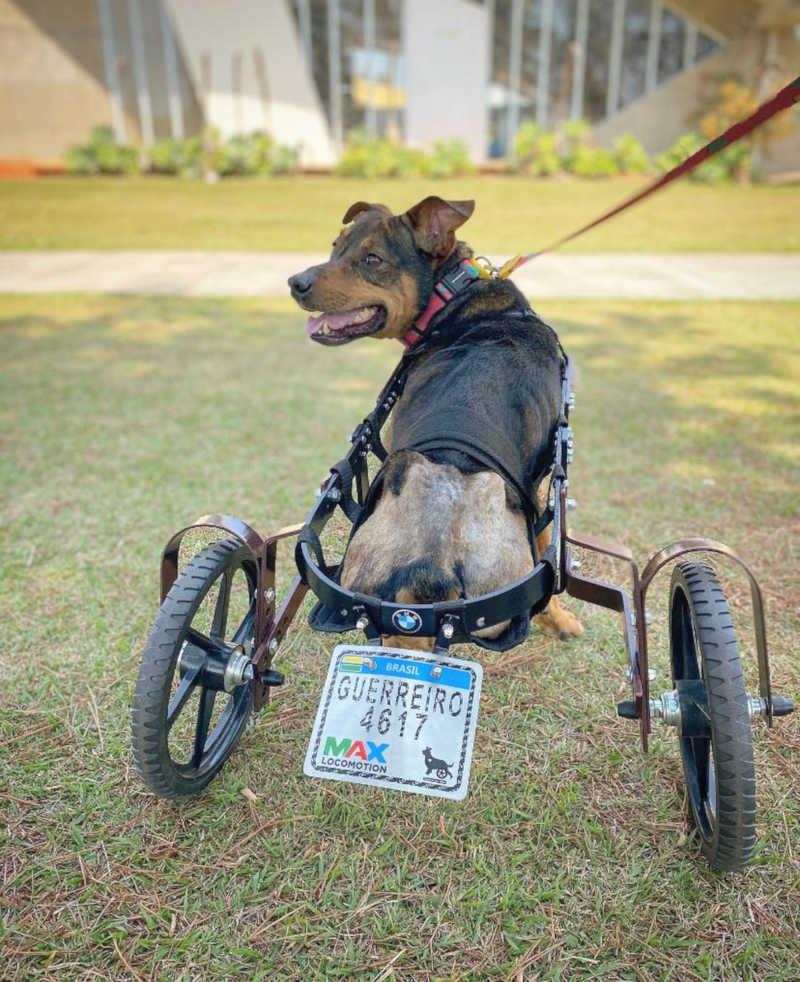 Cão que teve patas amputadas ganha 'cadeira de rodas' de projeto em Sorocaba, SP