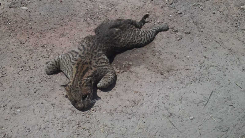 Animal foi vítima de queimada no sul do estado — Foto: Thainara Pimentel/Divulgação