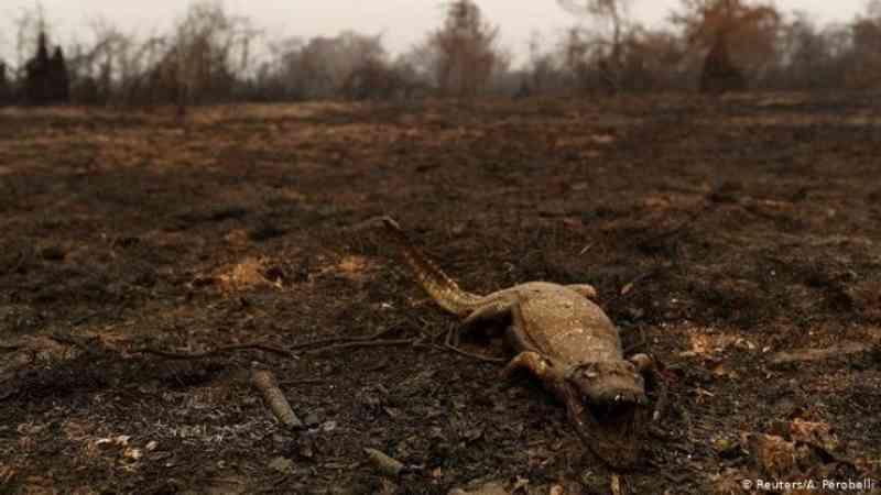 Projeto bichos do Pantanal lança Ação Bicho Vivo para salvar animais vítimas dos incêndios