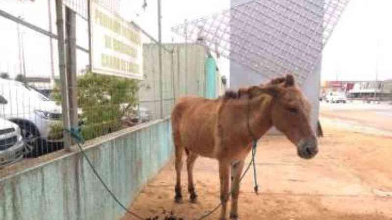 Sem comida e água, cavalo é deixado amarrado há dois dias ao muro do Hospital do Agreste, em Arapiraca, AL
