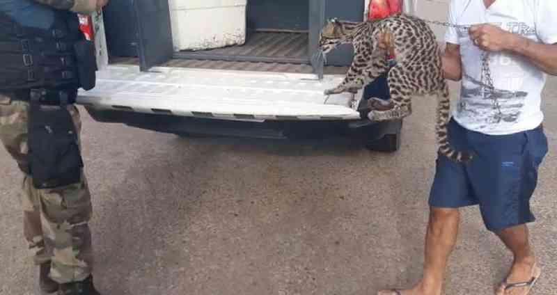 Morador de vila rural que criava gato selvagem há 1 ano entrega animal ao Ibama no Amapá; VÍDEO