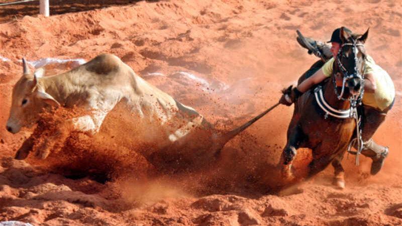 Vaquejada: sofrimento do boi e do cavalo. Foto: Orlando Brito
