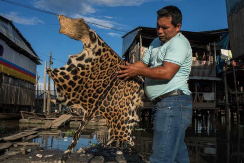 Comerciante mostra pele de onça à venda em mercado de Iquitos, no Peru. No Brasil, a venda de animais e suas partes era um montante substancial da economia da Amazônia até o fim da década de 1960. Estima-se que, de 1904 a 1969, cerca de 23 milhões de animais foram abatidos para suprir o mercado internacional. FOTO DE STEVE WINTER