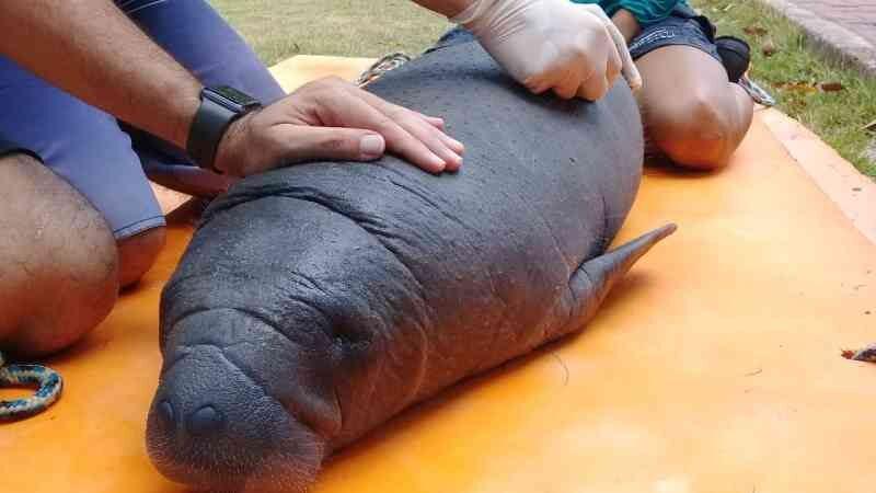 Filhote de peixe-boi é resgatado em Canoa Quebrada (CE); animal é o quarto encalhado este ano no CE