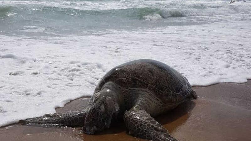 Tartaruga encontrada morta por frequentadores da Praia do Futuro, em Fortaleza, na manhã deste sábado (24). — Foto: Arquivo pessoal