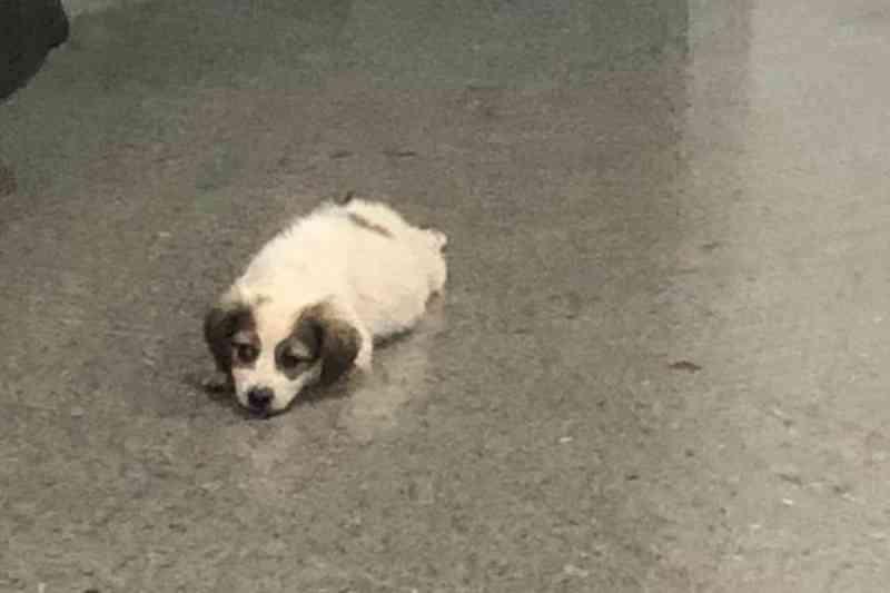 Casos de maus-tratos contra cães no DF têm pata quebrada e estrangulamento
