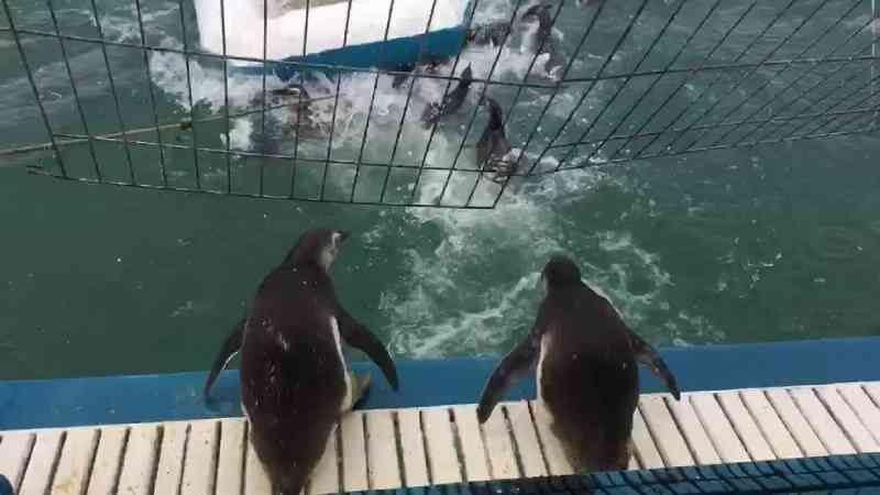 Pinguins reabilitados são devolvidos ao mar no ES