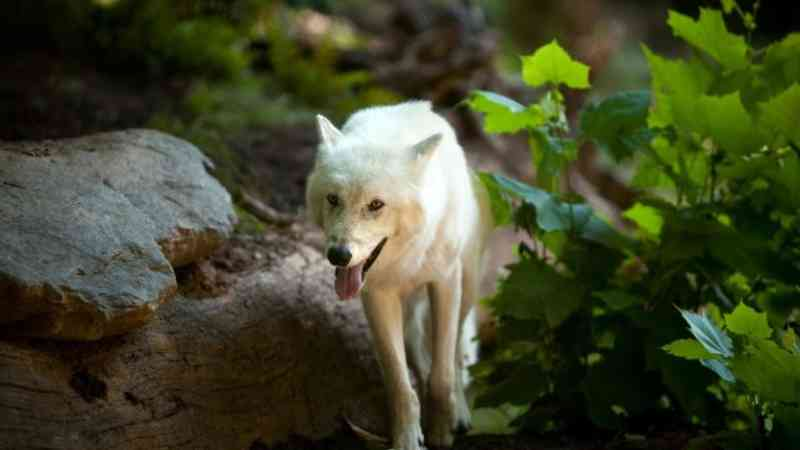 Governo Trump afirma confirma que LOBO deixa de ser espécie protegida nos Estados Unidos