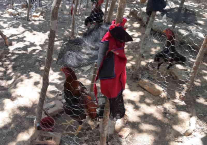 Batalhão Rural da PM acaba com rinha de galo e salva 110 animais em Jussara, GO