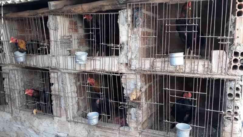 Polícia localiza rinha com mais de 120 galos de briga na cidade de Timon, MA