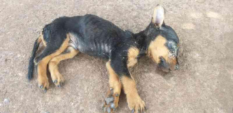 Cão filhote com sinais de maus-tratos é resgatado em Ituiutaba (MG) e tutor encaminhado para a delegacia