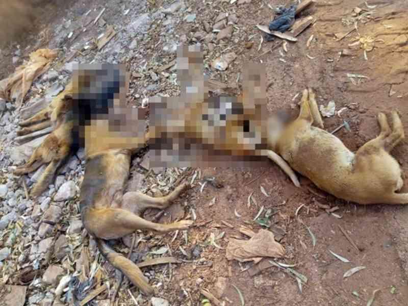 Cenas fortes: cachorros morrem após serem envenenados em Matutina, MG