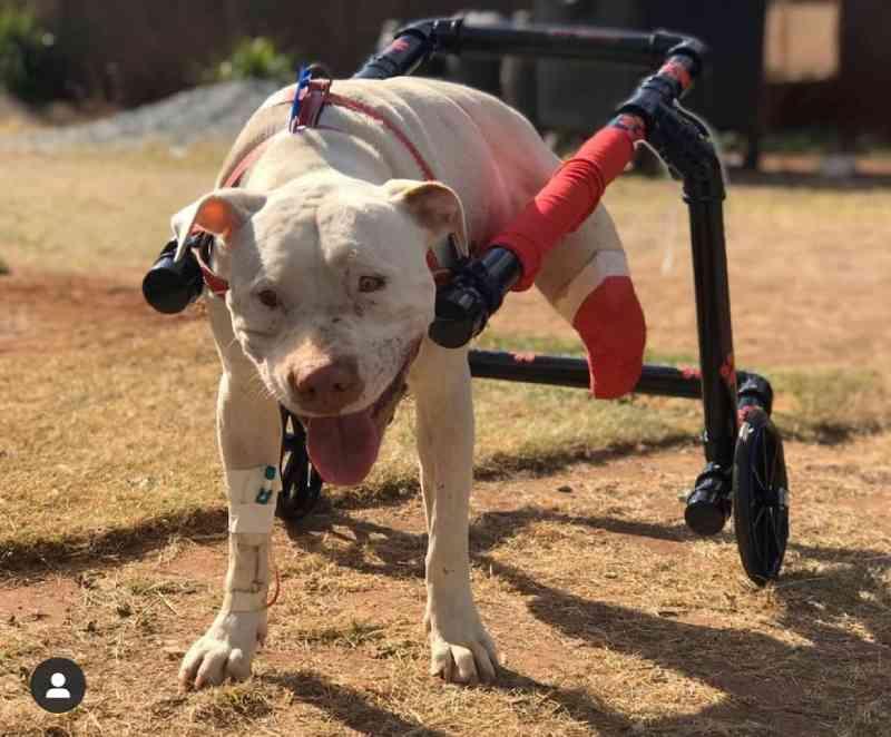 Suspeito de agredir o pit bull Sansão, que deu nome à lei contra agressão de animais, será julgado em vara criminal