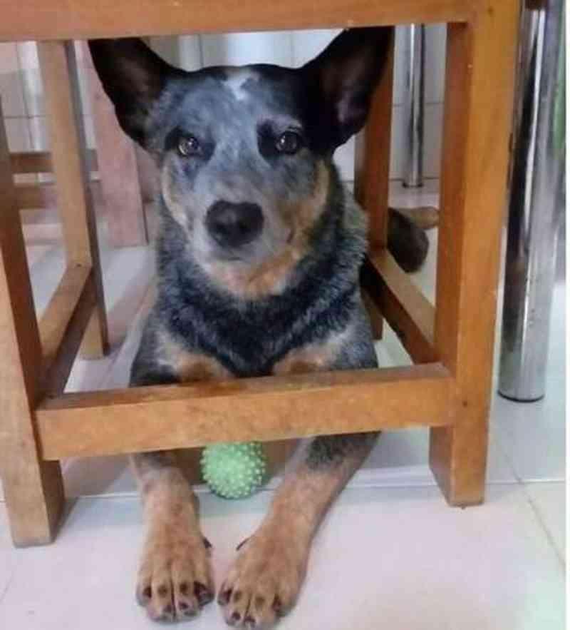 Cachorro come pizza com veneno de rato e morre em Campo Grande (MS) e tutor suspeita de vizinhos