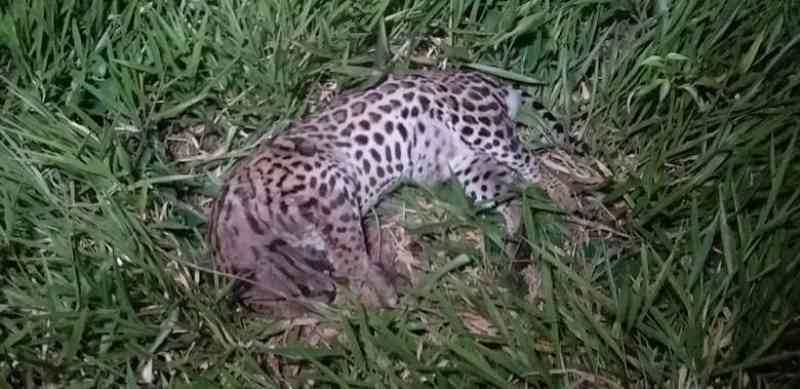 Jaguatirica é encontrada morta em parque aos fundos da rodoviária em Dourados, MS