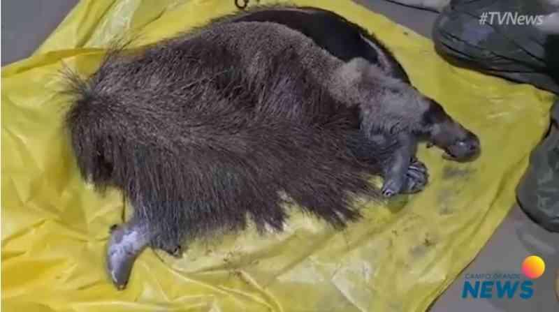 Mais um tamanduá é resgatado com 4 patas queimadas no Pantanal